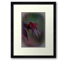Acer leaves Framed Print
