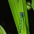 Azure damselfly by Javimage