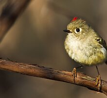 Small bird, big song by jamesmcdonald