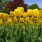 Yellow Tulips. by Lee d'Entremont