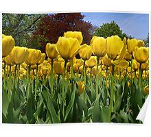 Yellow Tulips. Poster