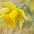 Daffodil  by Elaine  Manley