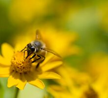 Buzzing Bee by Lucy Hollis