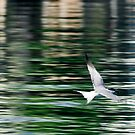 Watercolour Tern by Lucy Hollis