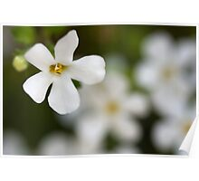 Pure White Bacopa Poster