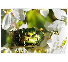 Beetle on a Choisya ternata flower Poster