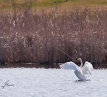 Trumpeter Swan by DigitallyStill