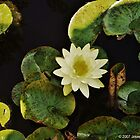 Lilly Pond by JoeDavisPhoto