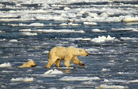 Polar Bears: Mother & Cub Struggling in Hudson Bay, Canada  by Carole-Anne