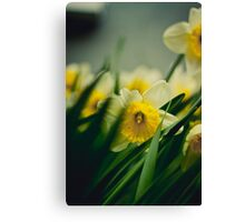 Daffodils in focus Canvas Print