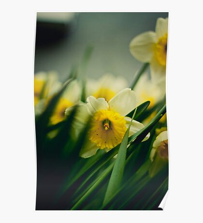 Daffodils in focus Poster