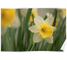 a single spring daffodil  Poster