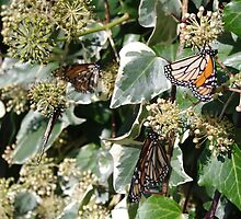 Monarchs by Gregory John O'Flaherty