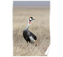 Grey Crowned Crane, Serengeti, Tanzania Poster