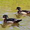 Two Male Wood Ducks in High Park Pond by Gerda Grice