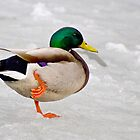 Mallard Balancing on One Foot on Ice by Gerda Grice