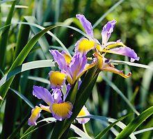 Iris  by torishaa