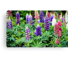 lupine flowers  Canvas Print