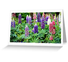 lupine flowers  Greeting Card