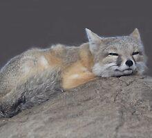 The Swift Fox (Vulpes velox) by DutchLumix