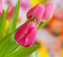 Tulips by torishaa