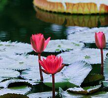 Lotus by torishaa