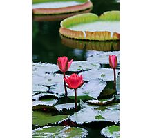 Lotus Photographic Print