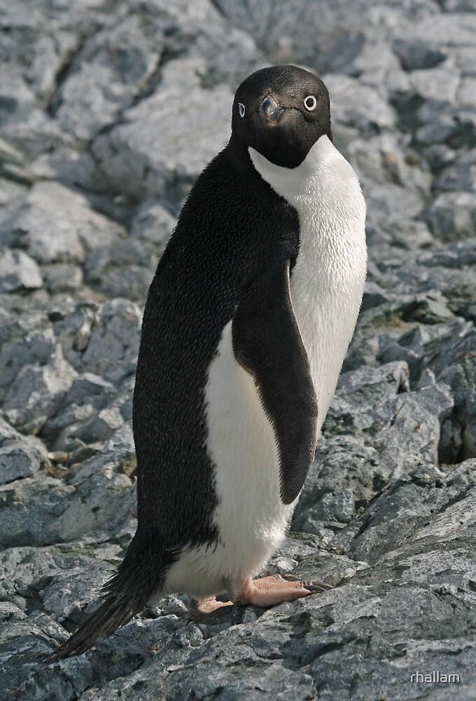 Adelie Penguin 4 by rhallam