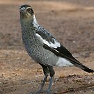 Australian Magpie by Rick Playle