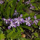 Crested Dwarf Iris by Karen Kaleta