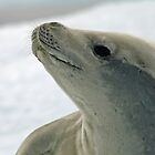 Crabeater seal 8 by rhallam