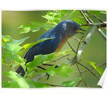 Singing Bluebird Poster