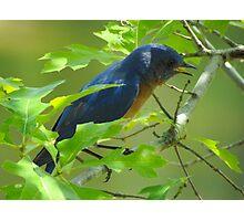 Singing Bluebird Photographic Print