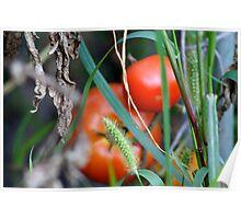 Tomato Garden Photograph Poster