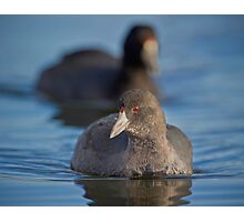 Curious Coot Photographic Print