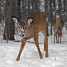 Curious Deer by Daniel  Parent