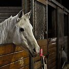 Curious Horse In The Barn Stall by actionshot