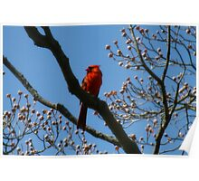 Red Cardinal posing Poster
