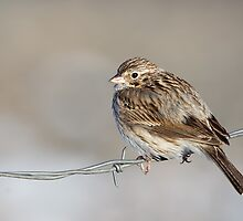 Bird on a Wire by kurtbowmanphoto