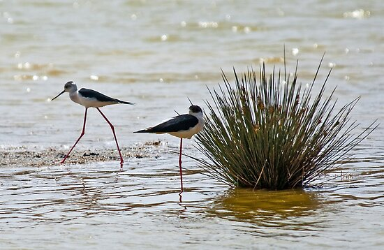 Black-winged Stilt by Konstantinos Arvanitopoulos