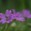 Purple Cranesbill by marens
