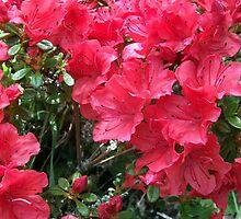 Red Azaleas by shiraz