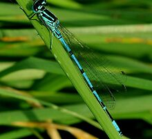 Azure Damselfly by Russell Couch