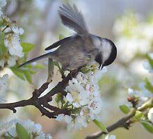Pear Blossom Frolic by Jay Morgan