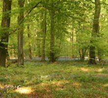 Cranham Woods - April 2011 - Panorama 1 by Martin Carr