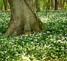 Wild garlic about a tree's base by Martin Carr