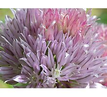 Flowering Chive Photographic Print
