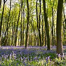 Blue-bell wood near Winchester, Hampshire by Alex Cassels
