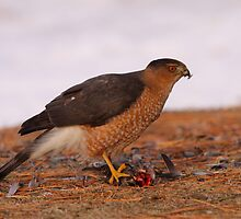 Feathered Feast/Cooper's Hawk by naturalnomad
