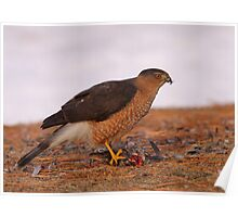 Feathered Feast/Cooper's Hawk Poster